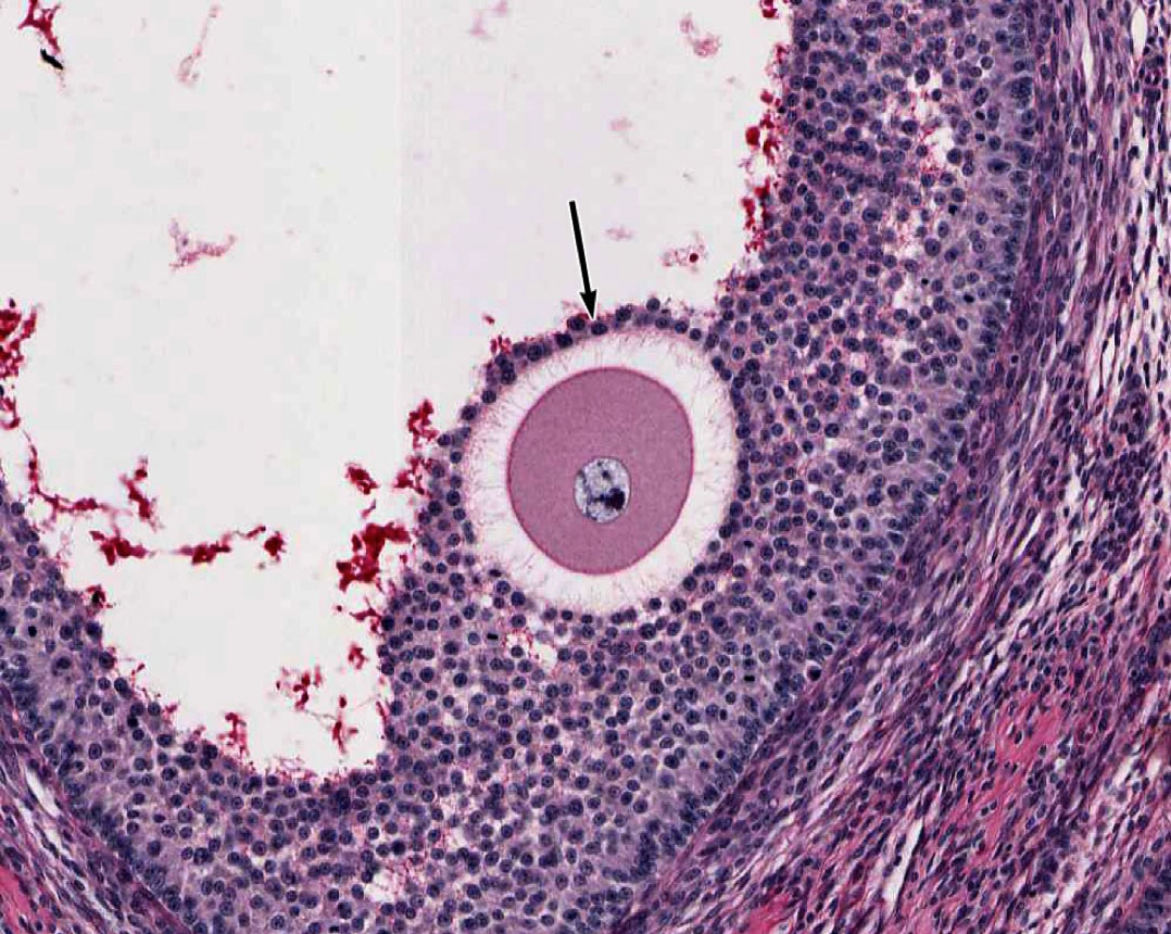Female Reproductive System | histology