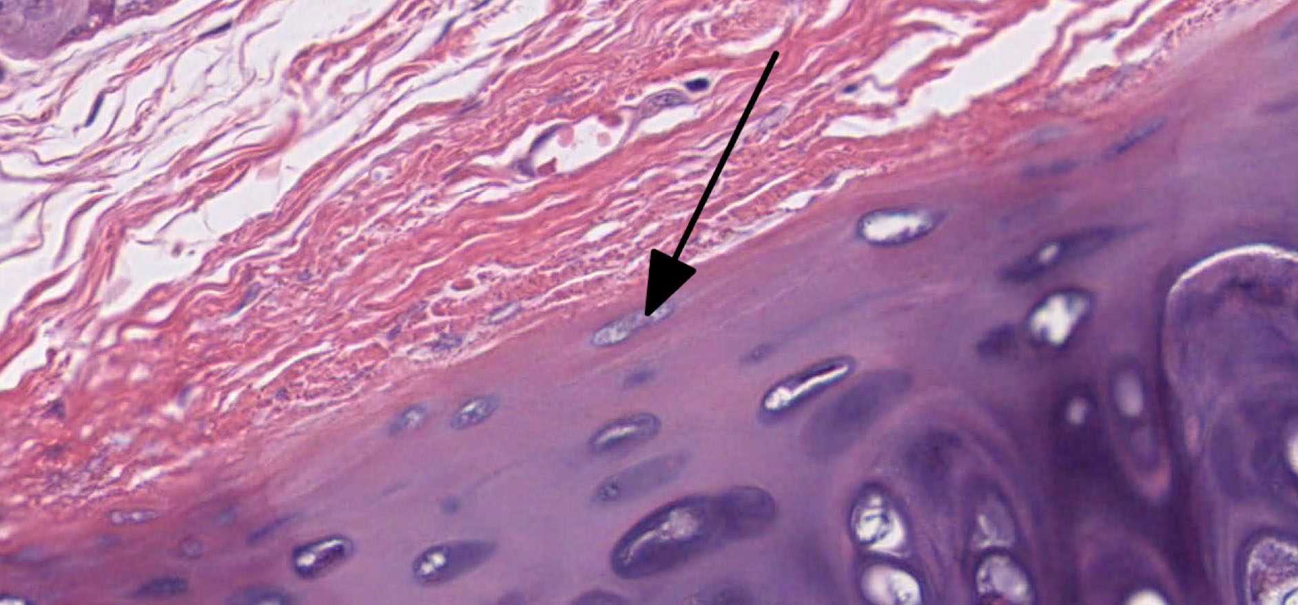 Cartilage Histology
