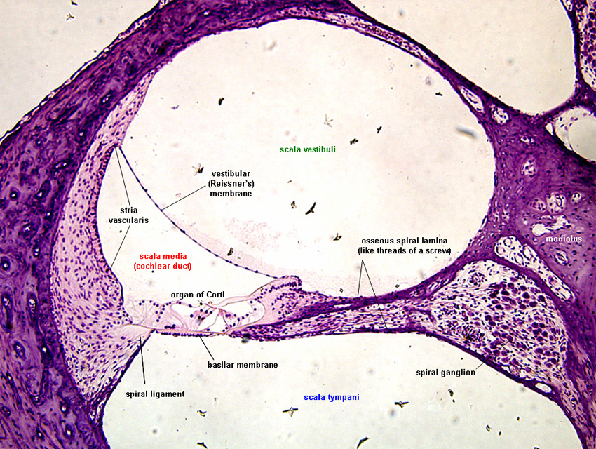 ear histology a diagram of a search box