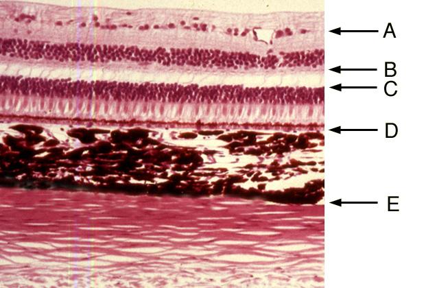 Eye Histology