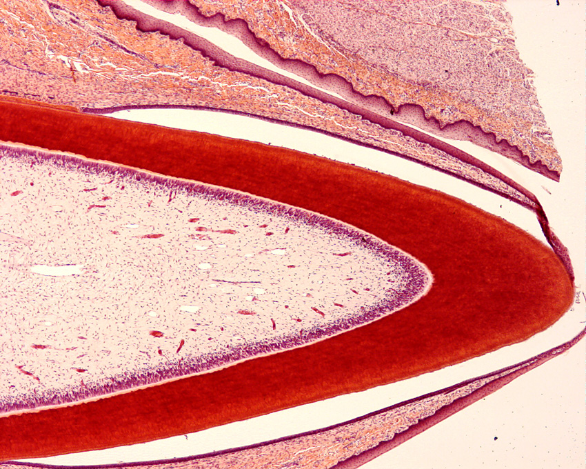 Tooth Histology Slides | www.pixshark.com - Images ...