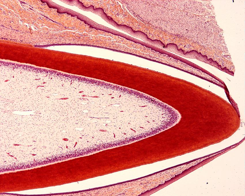 Oral Cavity | histology