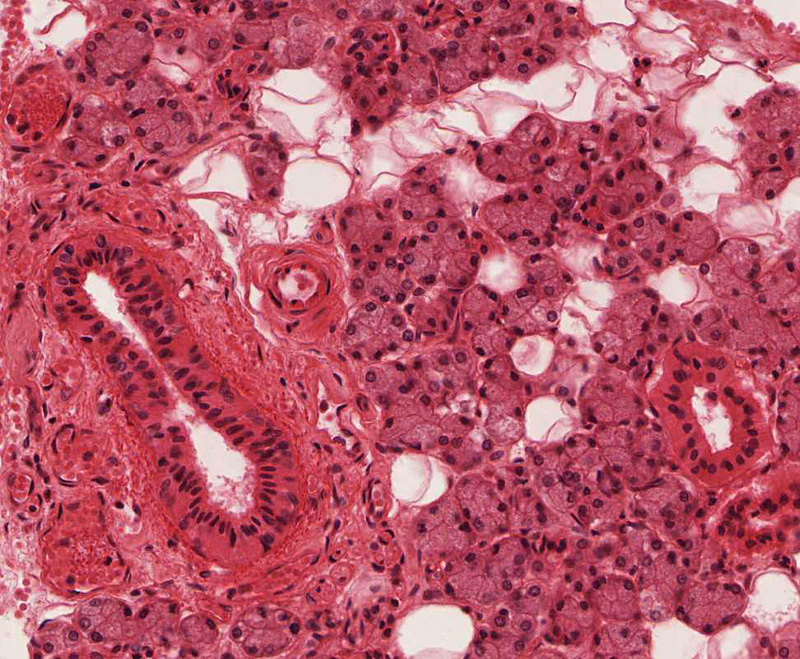 Salivary Glands   histology