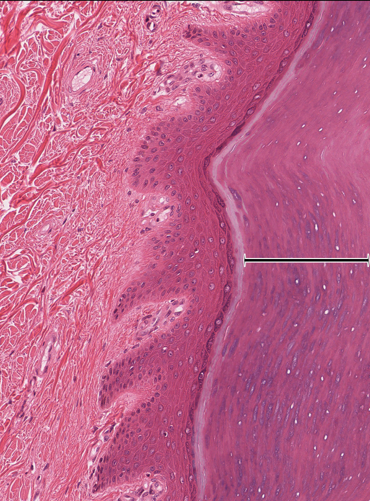 essay questions on integumentary system The integumentary system is made up of skin, hair, nails, and glands it is the most visible organ system and one of the most complex.