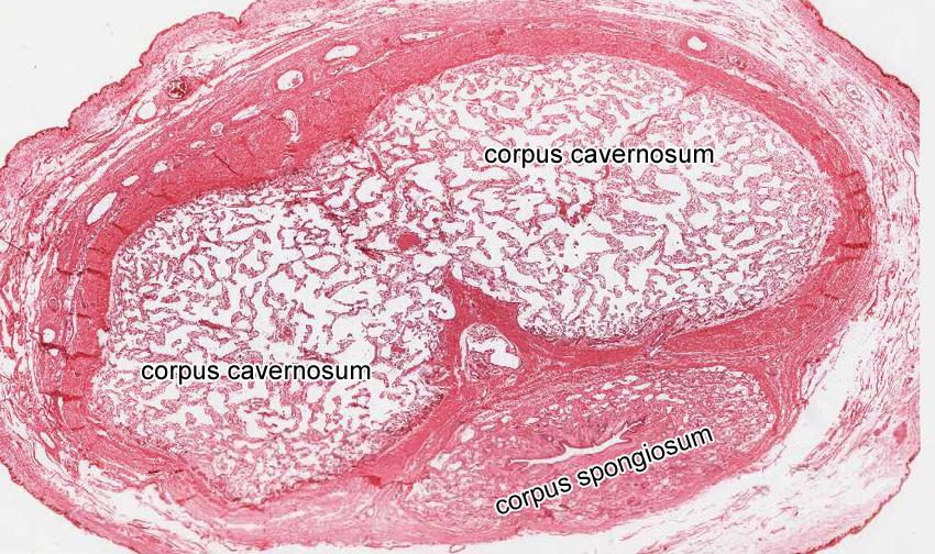 penis under microscope