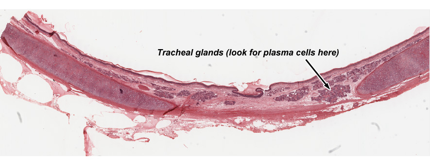 Connective Tissue Histology